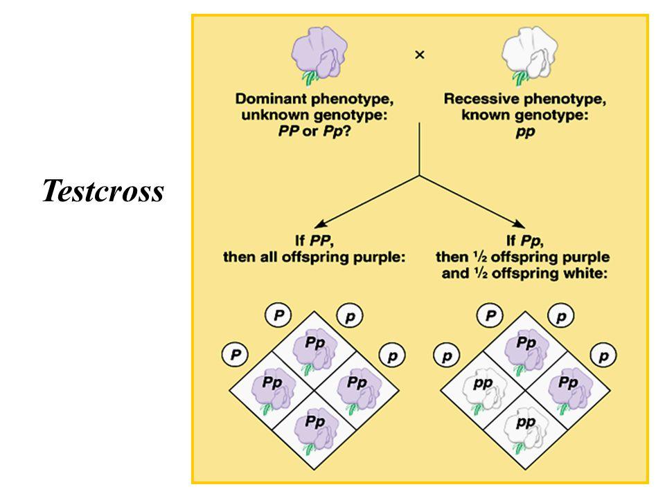 Test Cross E' usato per determinare il genotipo di individui che mostrano il fenotipo dominante (omozigoti o eterozigoti?) L'individuo viene incrociato con un omozigote recessivo (fenotipo recessivo) –se l'individuo è omozigote dominante, tutta la progenie mostrerà il fenotipo dominante –se l'individuo è eterozigote, ½ della progenie esibirà il fenotipo dominante e l'altro ½ mostrerà il fenotipo recessivo