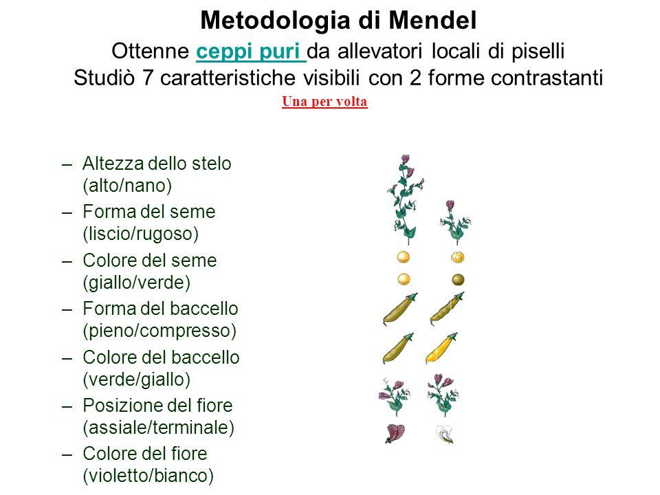 Esperimenti di Mendel Mendel stabilì che esistevano unità di eredità (fattori unitari) che noi ora chiamiamo geni Predisse il loro comportamento durante la formazione dei gameti Derivò dei postulati che ancora oggi rappresentano la pietra miliare della genetica formale
