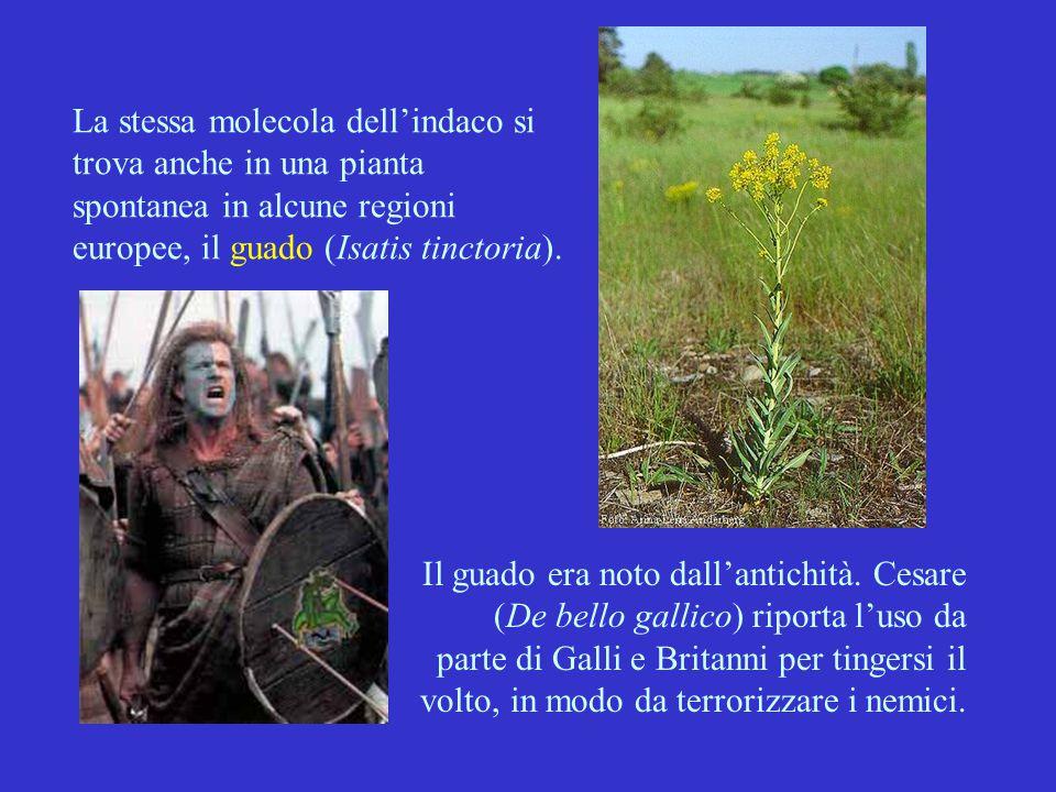 La stessa molecola dell'indaco si trova anche in una pianta spontanea in alcune regioni europee, il guado (Isatis tinctoria). Il guado era noto dall'a
