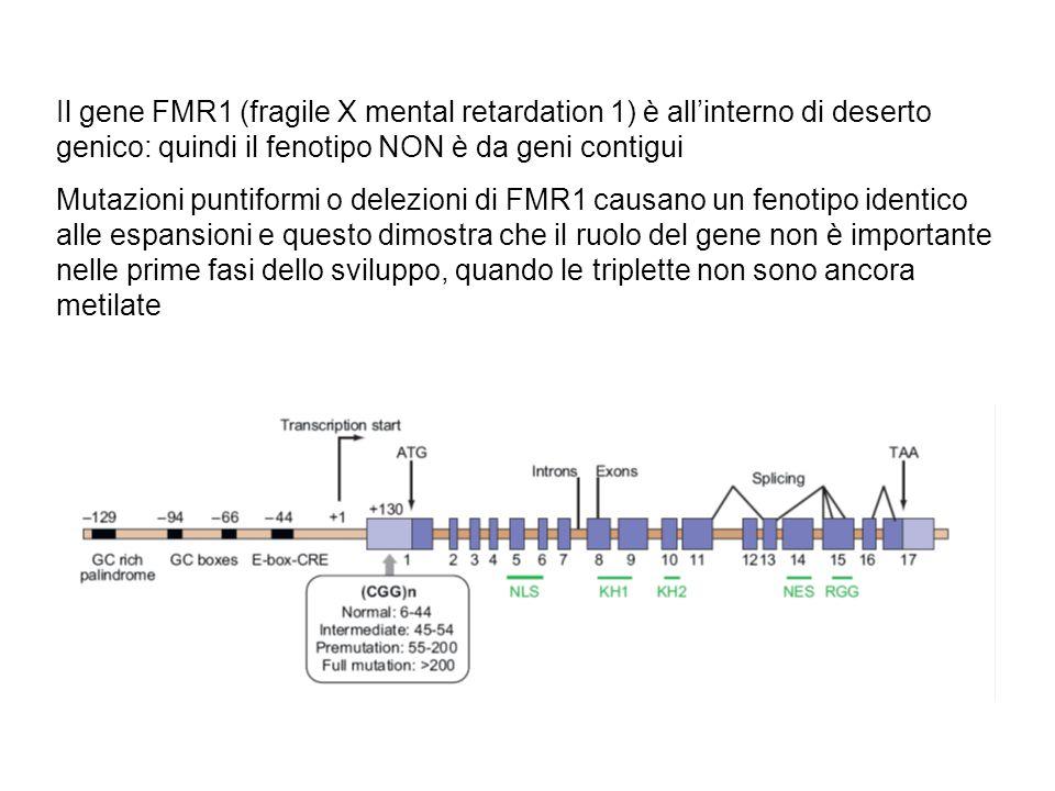 Il gene FMR1 (fragile X mental retardation 1) è all'interno di deserto genico: quindi il fenotipo NON è da geni contigui Mutazioni puntiformi o delezioni di FMR1 causano un fenotipo identico alle espansioni e questo dimostra che il ruolo del gene non è importante nelle prime fasi dello sviluppo, quando le triplette non sono ancora metilate