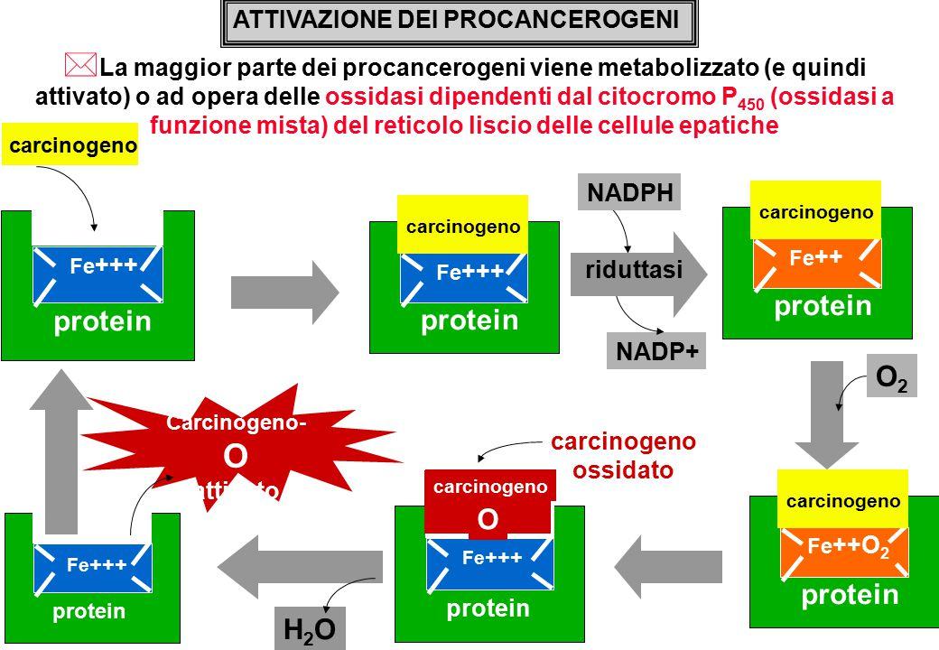 NADP+ ATTIVAZIONE DEI PROCANCEROGENI * La maggior parte dei procancerogeni viene metabolizzato (e quindi attivato) o ad opera delle ossidasi dipendenti dal citocromo P 450 (ossidasi a funzione mista) del reticolo liscio delle cellule epatiche protein Fe +++ protein Fe +++ carcinogeno NADPH riduttasi O2O2 protein Fe +++ carcinogeno protein Fe +++ carcinogeno O Carcinogeno- O attivato carcinogeno ossidato H2OH2O protein Fe ++ carcinogeno protein Fe ++O 2 carcinogeno