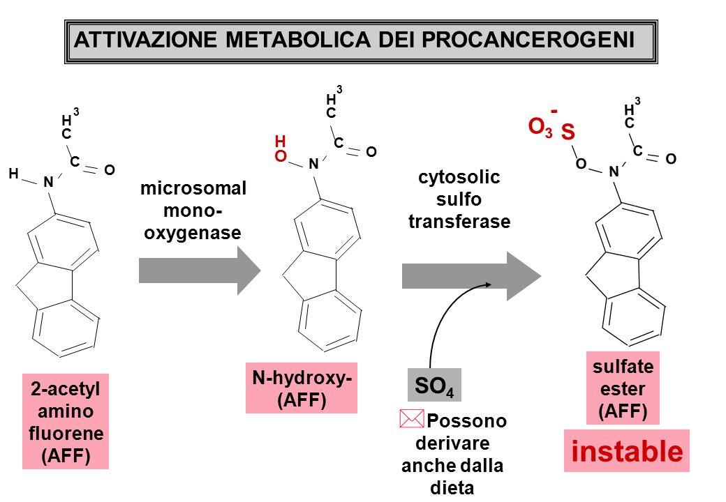 N C C H 3 O H N C C H 3 O O H O3O3 N C C H 3 O O S - 2-acetyl amino fluorene (AFF) N-hydroxy- (AFF) sulfate ester (AFF) ATTIVAZIONE METABOLICA DEI PROCANCEROGENI microsomal mono- oxygenase instable cytosolic sulfo transferase SO 4 * Possono derivare anche dalla dieta
