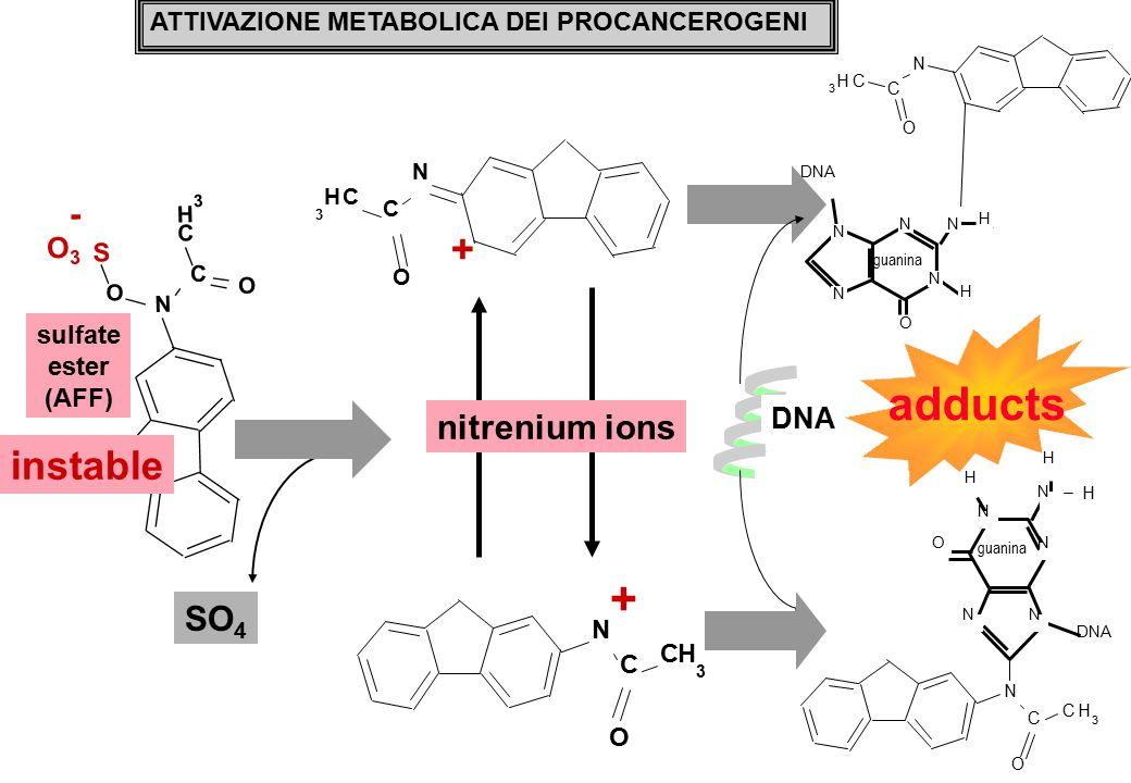 O3O3 N C C H 3 O O S - + N C CH 3 O N C CH 3 O + sulfate ester (AFF) ATTIVAZIONE METABOLICA DEI PROCANCEROGENI nitrenium ions DNA N C CH 3 O N N N N O guanina N H H DNA N C CH 3 O N N NN O guanina N H H DNA H instable SO 4 adducts