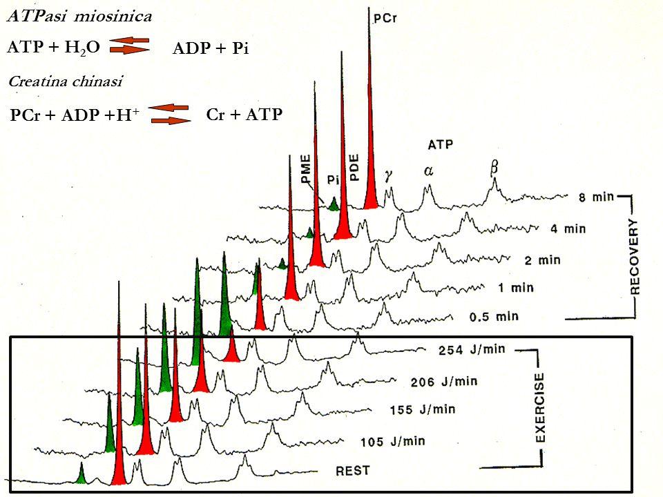 ATP + H 2 O ADP + Pi ATPasi miosinica PCr + ADP +H + Cr + ATP Creatina chinasi