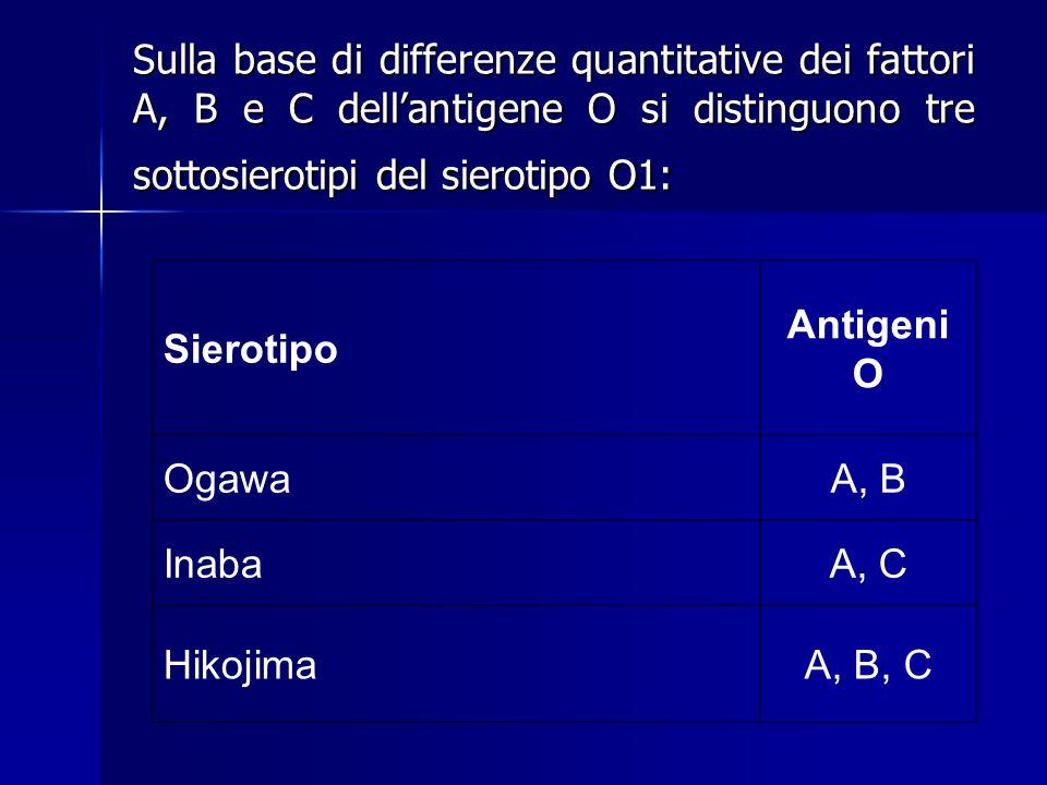 Sierotipo Antigeni O OgawaA, B InabaA, C HikojimaA, B, C Sulla base di differenze quantitative dei fattori A, B e C dell'antigene O si distinguono tre sottosierotipi del sierotipo O1: