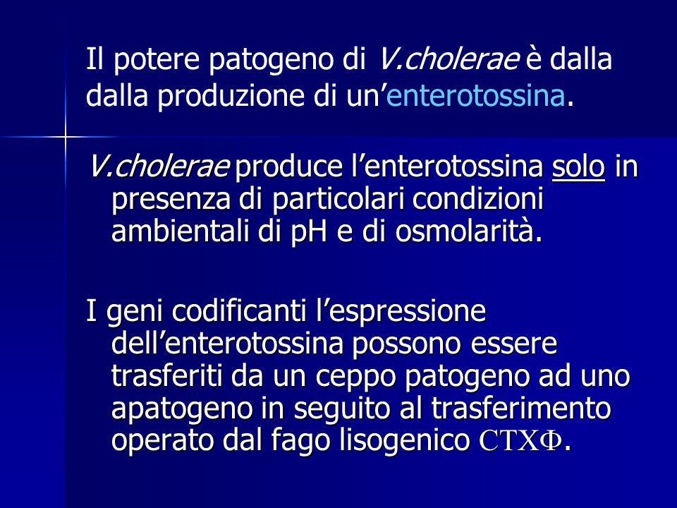 Il potere patogeno di V.cholerae è dalla dalla produzione di un'enterotossina.