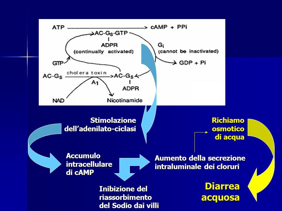 Stimolazione dell'adenilato-ciclasi Accumulo intracellulare di cAMP Inibizione del riassorbimento del Sodio dai villi Aumento della secrezione intraluminale dei cloruri Richiamo osmotico di acqua Diarrea acquosa