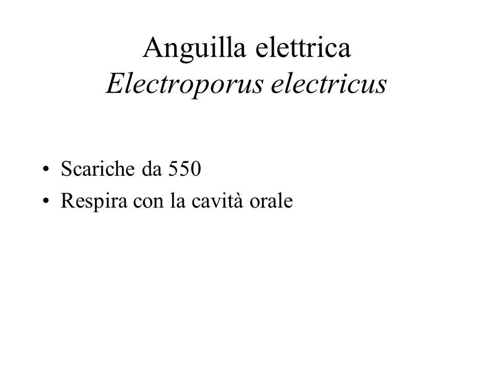 Anguilla elettrica Electroporus electricus Scariche da 550 Respira con la cavità orale