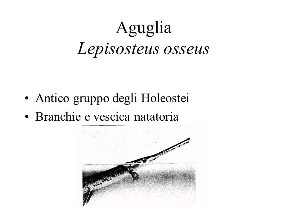 Aguglia Lepisosteus osseus Antico gruppo degli Holeostei Branchie e vescica natatoria