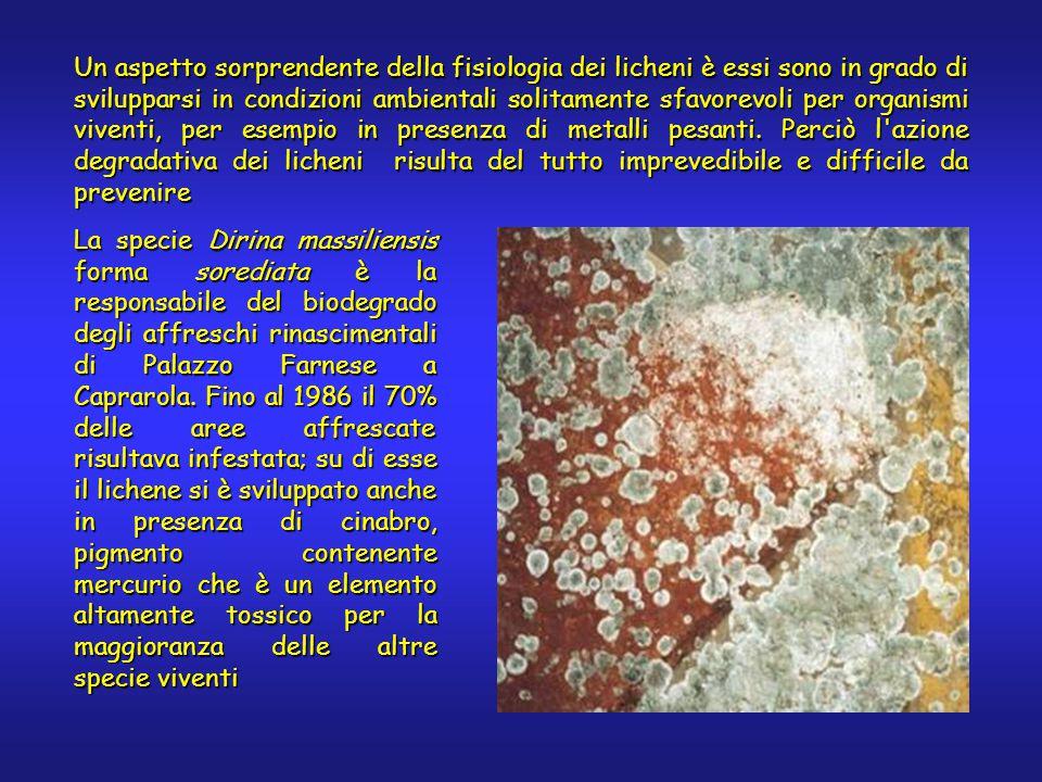 Un aspetto sorprendente della fisiologia dei licheni è essi sono in grado di svilupparsi in condizioni ambientali solitamente sfavorevoli per organismi viventi, per esempio in presenza di metalli pesanti.