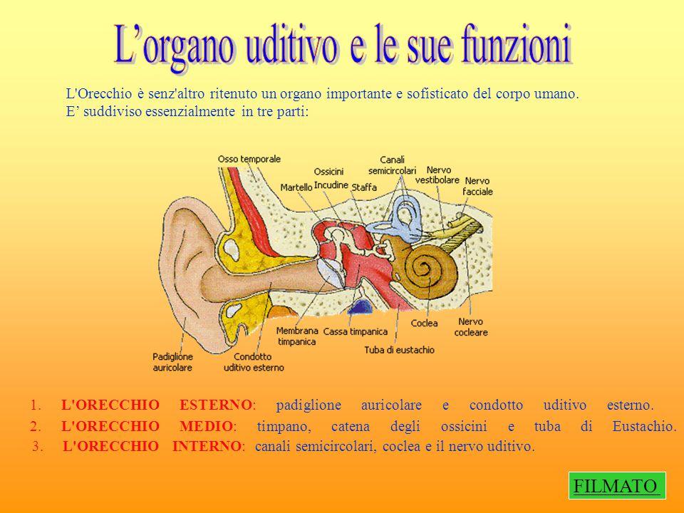 L'Orecchio è senz'altro ritenuto un organo importante e sofisticato del corpo umano. E' suddiviso essenzialmente in tre parti: 1. L'ORECCHIO ESTERNO: