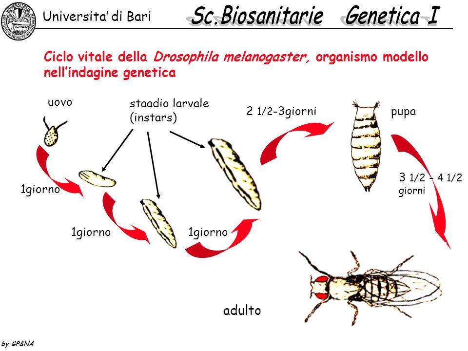 Ciclo vitale della Drosophila melanogaster, organismo modello nell'indagine genetica uovo staadio larvale (instars) 1giorno 2 1/2 -3giornipupa 3 1/2 -