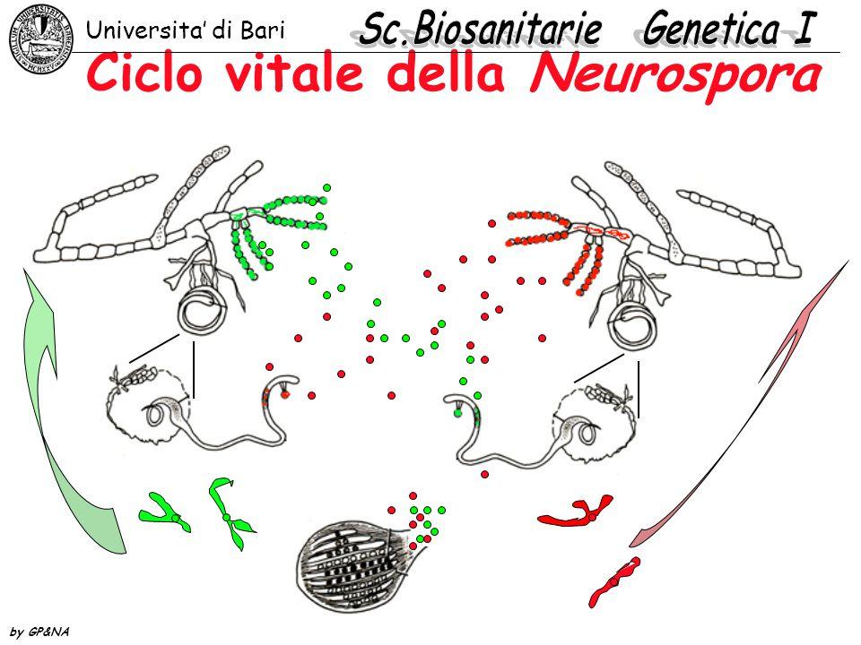 meiosi e formazione delle ascospore Universita' di Bari by GP&NA Zigote diploide Anafase prima divisione meiotica Anafase seconda divisione meiotica Anafase divisione mitotica Inizio formazione di otto spore aploidi per asco Asco con otto spore aploidi mature Prodotti prima divisione meiotica Prodotti seconda divisione meiotica Prodotti divisione mitotica