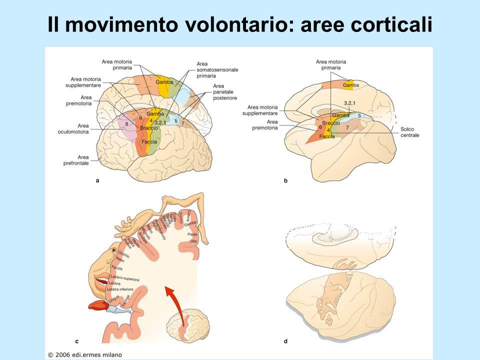 Il movimento volontario: aree corticali