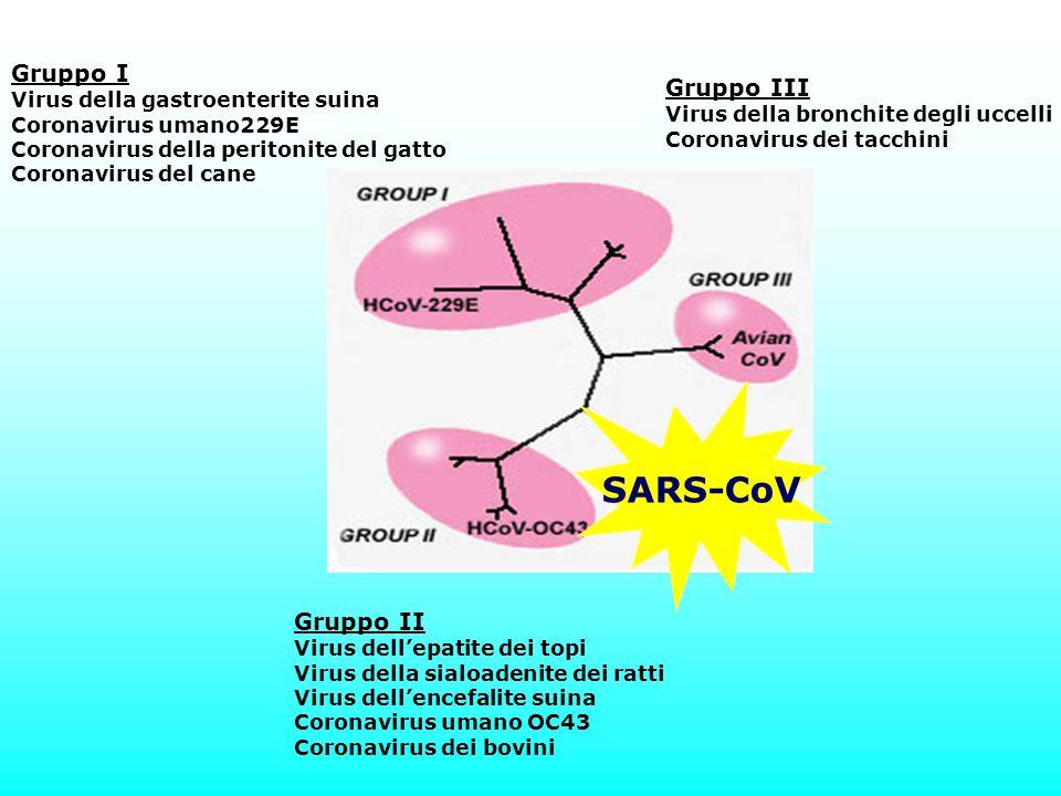 Gruppo I Virus della gastroenterite suina Coronavirus umano229E Coronavirus della peritonite del gatto Coronavirus del cane Gruppo II Virus dell'epati