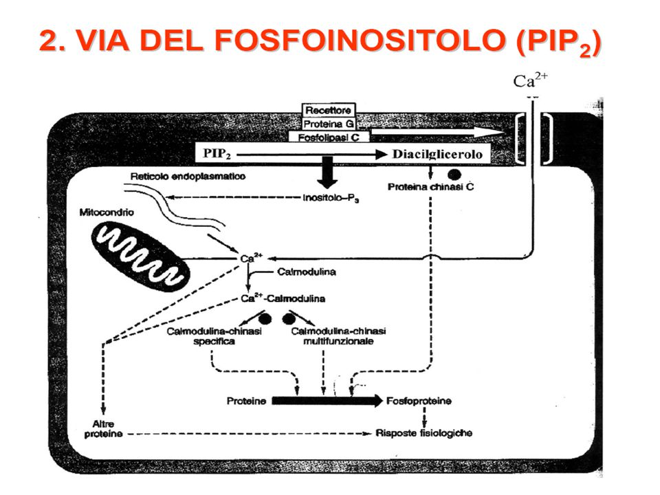 2. VIA DEL FOSFOINOSITOLO (PIP 2 )