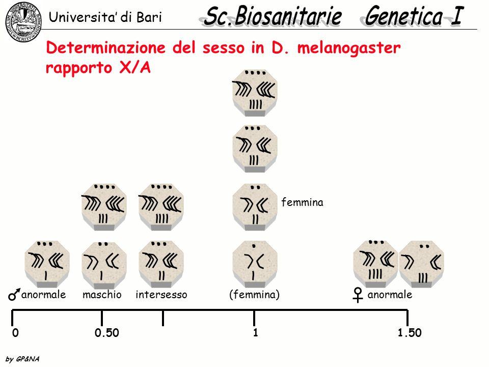 Compensazione del dosaggio in Drosophila Nella femmina sono attivi entrambi i cromosomi.