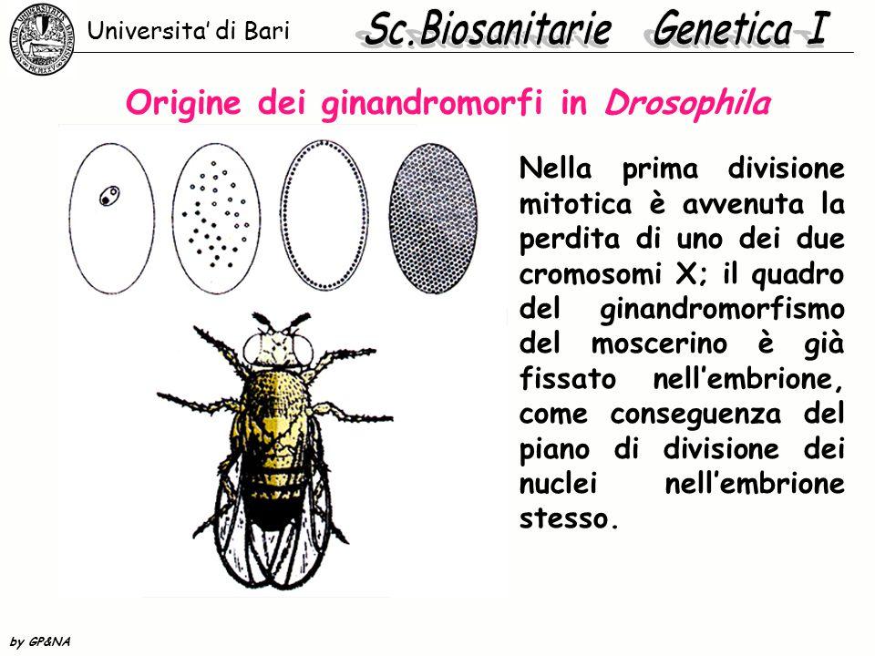 Origine dei ginandromorfi in Drosophila Nella prima divisione mitotica è avvenuta la perdita di uno dei due cromosomi X; il quadro del ginandromorfism