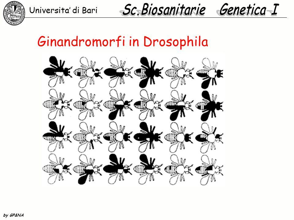 Conseguenze del ginandromorfismo  In Drosophila il fenotipo intermedio è netto, perché il carattere è cellulare autonomo.