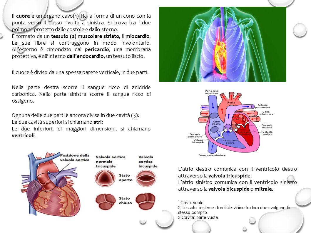 Il cuore è un organo cavo(1) Ha la forma di un cono con la punta verso il basso rivolta a sinistra.