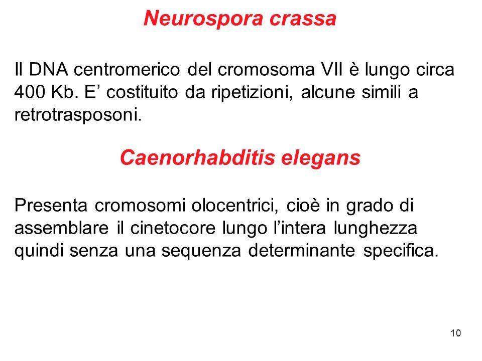 10 Neurospora crassa Il DNA centromerico del cromosoma VII è lungo circa 400 Kb. E' costituito da ripetizioni, alcune simili a retrotrasposoni. Caenor