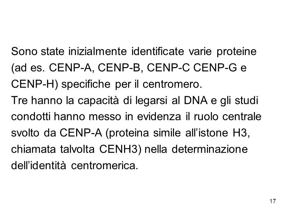 17 Sono state inizialmente identificate varie proteine (ad es. CENP-A, CENP-B, CENP-C CENP-G e CENP-H) specifiche per il centromero. Tre hanno la capa