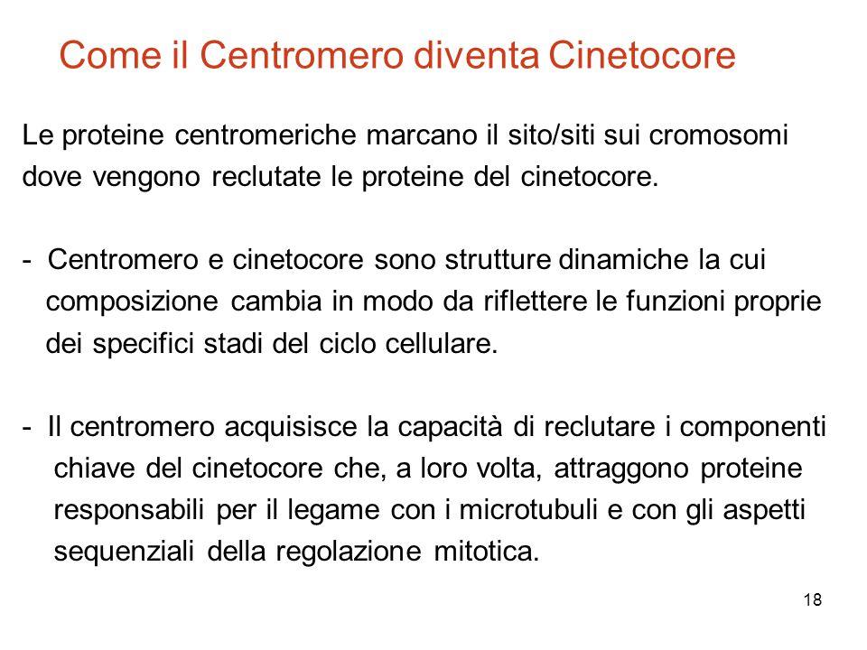 18 Come il Centromero diventa Cinetocore Le proteine centromeriche marcano il sito/siti sui cromosomi dove vengono reclutate le proteine del cinetocor