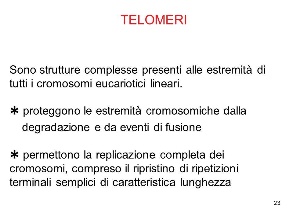 23 TELOMERI Sono strutture complesse presenti alle estremità di tutti i cromosomi eucariotici lineari.  proteggono le estremità cromosomiche dalla de