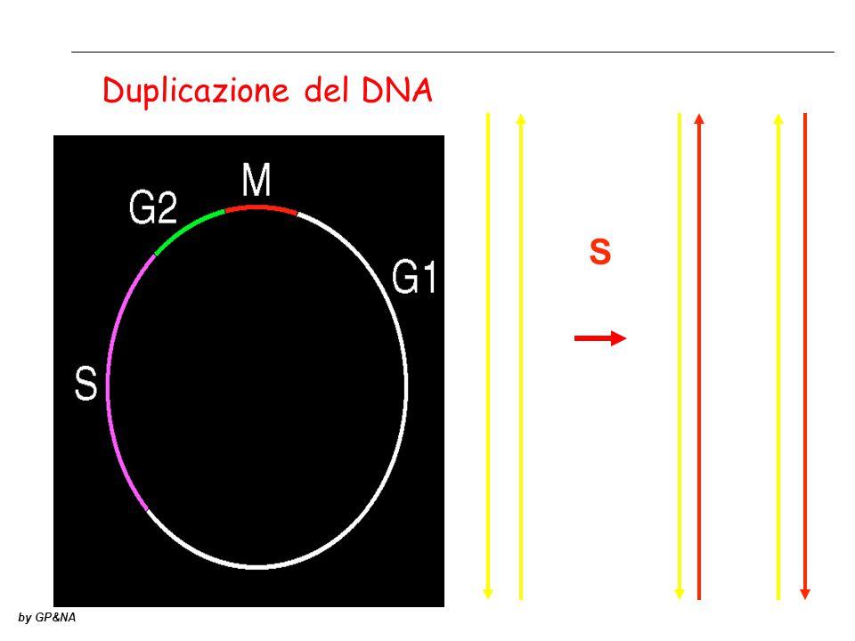 S by GP&NA Duplicazione del DNA