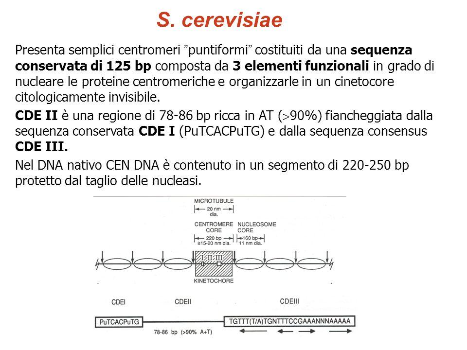 "Presenta semplici centromeri "" puntiformi "" costituiti da una sequenza conservata di 125 bp composta da 3 elementi funzionali in grado di nucleare le"