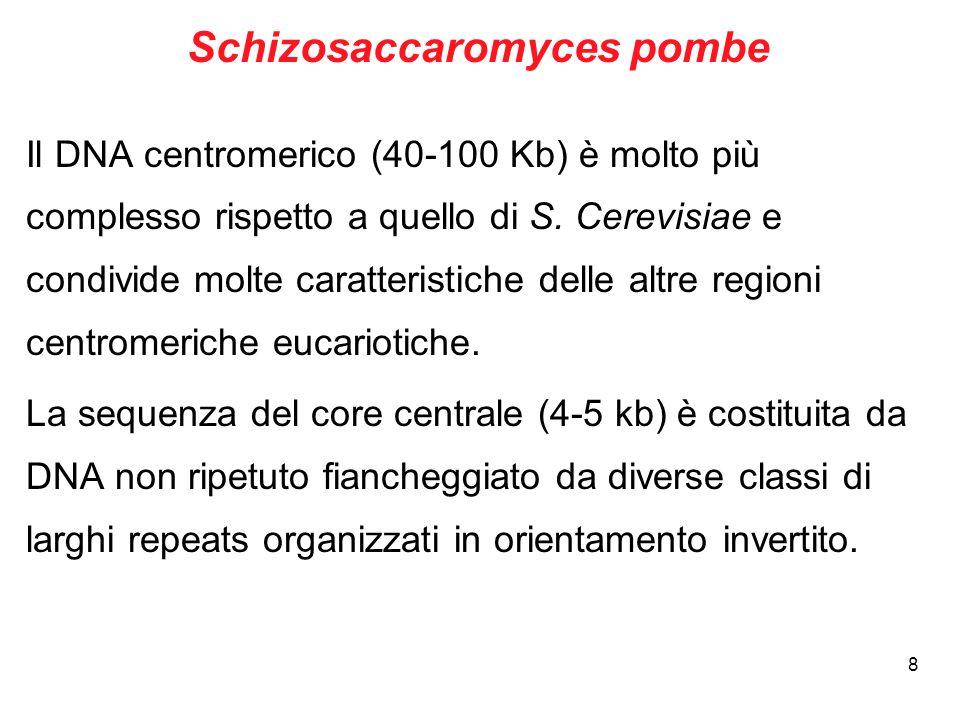 8 Schizosaccaromyces pombe Il DNA centromerico (40-100 Kb) è molto più complesso rispetto a quello di S. Cerevisiae e condivide molte caratteristiche