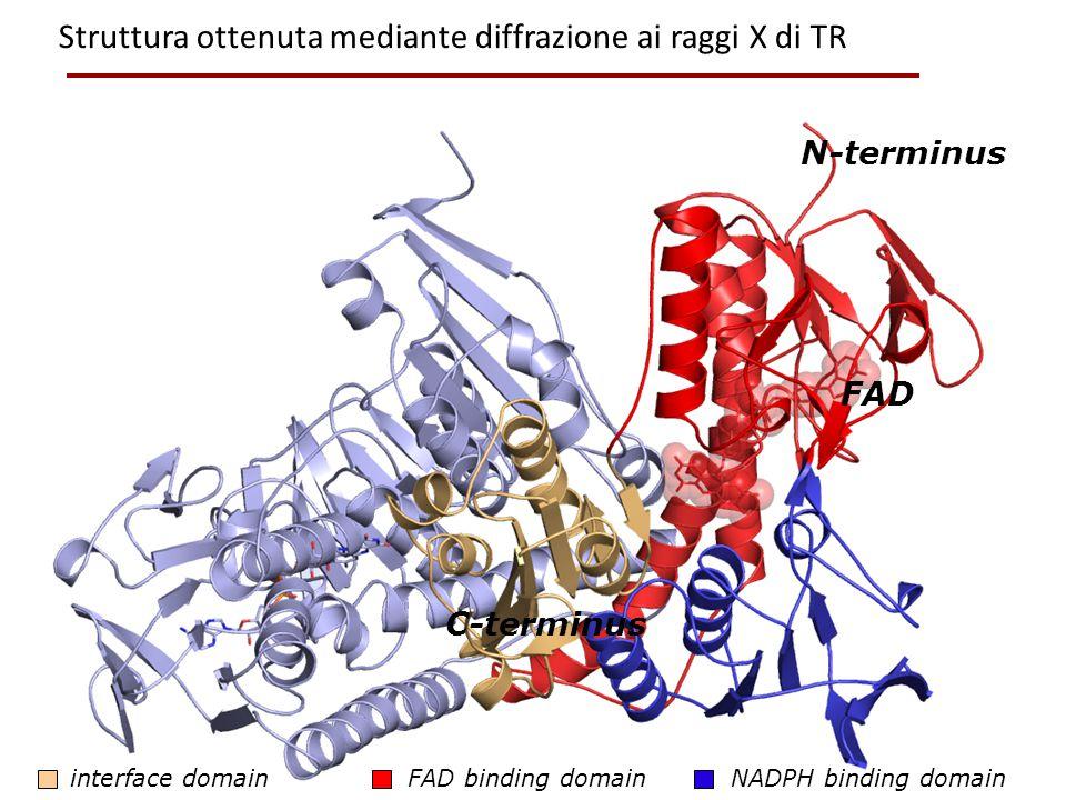 FAD binding domain NADPH binding domaininterface domain FAD N-terminus C-terminus Struttura ottenuta mediante diffrazione ai raggi X di TR