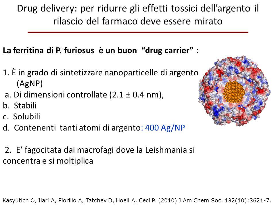 """La ferritina di P. furiosus è un buon """"drug carrier"""" : 1. È in grado di sintetizzare nanoparticelle di argento (AgNP) a. Di dimensioni controllate (2."""