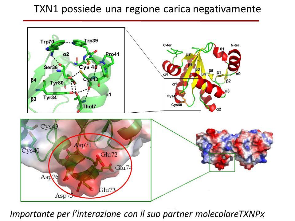 TXN1 possiede una regione carica negativamente Importante per l'interazione con il suo partner molecolareTXNPx Cys 40