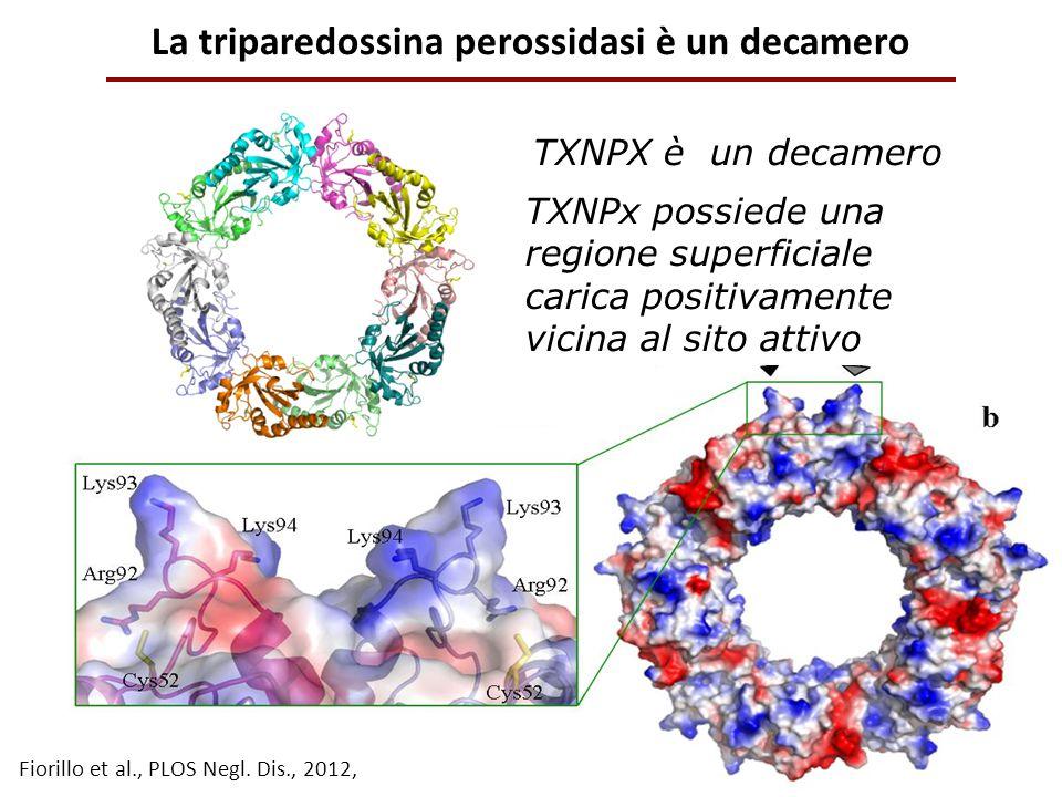 La triparedossina perossidasi è un decamero TXNPx possiede una regione superficiale carica positivamente vicina al sito attivo TXNPX è un decamero Fio