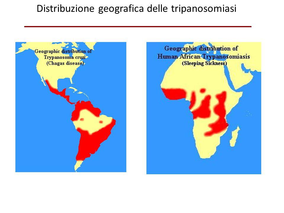 Ciclo della Leishmania: la malattia è trasmessa dalla puntura dei flebotomi (pappataci) AmastigotePromastigoti