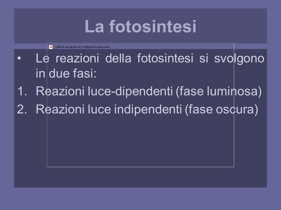 La fotosintesi Le reazioni della fotosintesi si svolgono in due fasi: 1.Reazioni luce-dipendenti (fase luminosa) 2.Reazioni luce indipendenti (fase oscura)