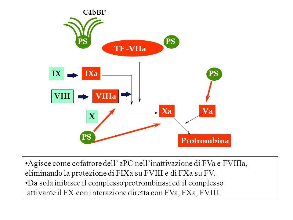 Agisce come cofattore dell' aPC nell'inattivazione di FVa e FVIIIa, eliminando la protezione di FIXa su FVIII e di FXa su FV. Da sola inibisce il comp