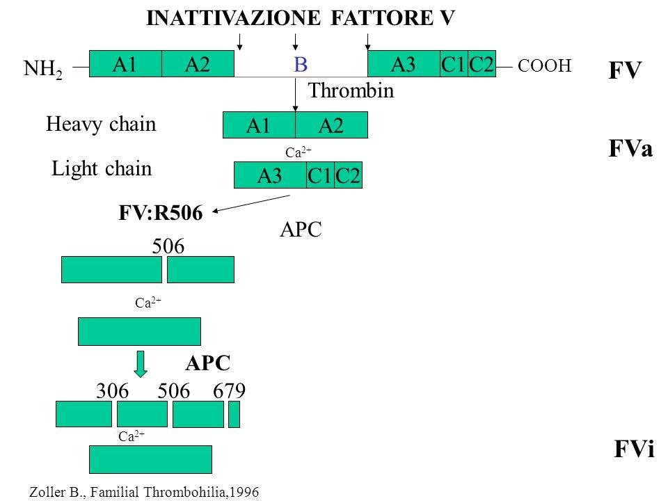 Thrombin Heavy chain 506 Ca 2+ APC 306506679 Light chain APC FV:R506 FV FVa FVi C1 B A1 NH 2 COOH Ca 2+ INATTIVAZIONE FATTORE V A2A3 A1A2 C2 C1A3C2 Zo