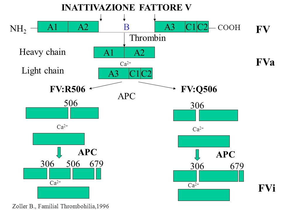 Thrombin Heavy chain 506 306 Ca 2+ APC 306506679 Light chain APC FV:R506FV:Q506 Ca 2+ 306679 FV FVa FVi C1 B A1 NH 2 COOH Ca 2+ INATTIVAZIONE FATTORE