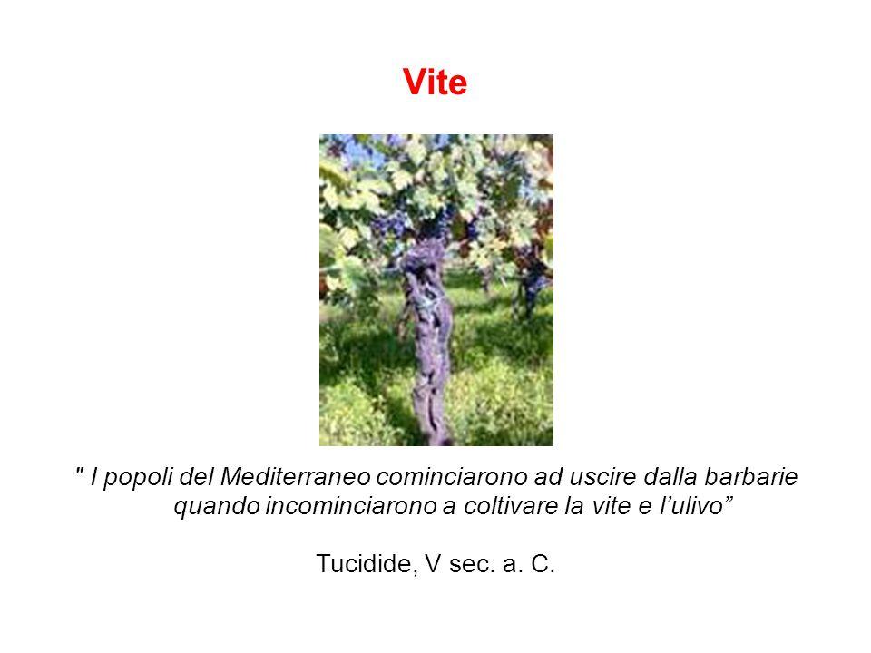 Vite I popoli del Mediterraneo cominciarono ad uscire dalla barbarie quando incominciarono a coltivare la vite e l'ulivo Tucidide, V sec.