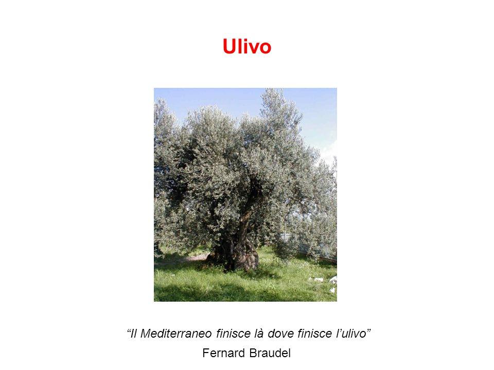 Ulivo Il Mediterraneo finisce là dove finisce l'ulivo Fernard Braudel