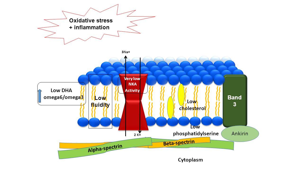 Oxidative stress + inflammation Low fluidity Low DHA omega6/omega3 Low cholesterol Low phosphatidylserine Cytoplasm Band 3 Beta-spectrin Alpha-spectri