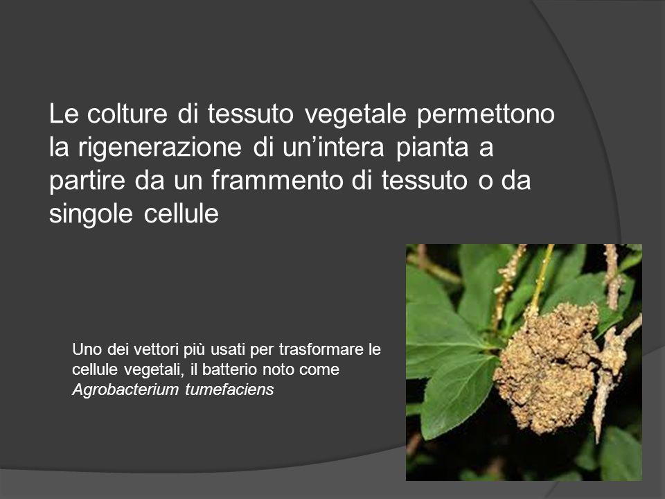 Le colture di tessuto vegetale permettono la rigenerazione di un'intera pianta a partire da un frammento di tessuto o da singole cellule Uno dei vetto