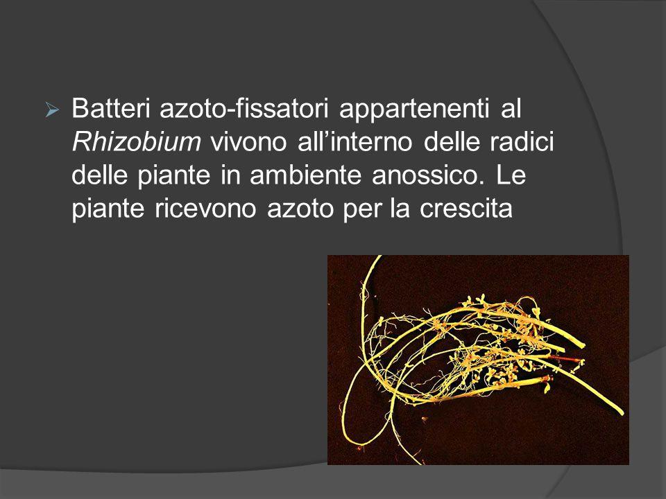  Batteri azoto-fissatori appartenenti al Rhizobium vivono all'interno delle radici delle piante in ambiente anossico. Le piante ricevono azoto per la