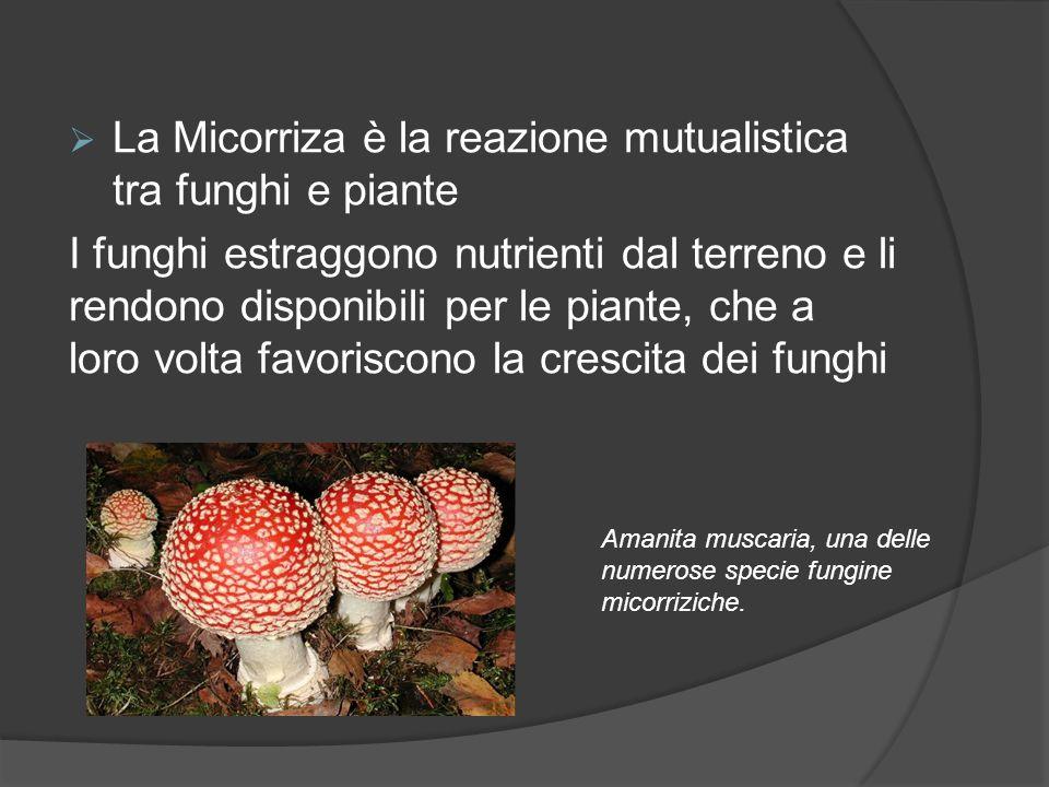  La Micorriza è la reazione mutualistica tra funghi e piante I funghi estraggono nutrienti dal terreno e li rendono disponibili per le piante, che a