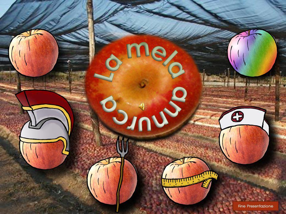 Scheda tecnica La Mela annurca tradizionale si presenta come un frutto dalle piccole dimensioni dal peso medio di 100gr, di forma rotondeggiante con epidermide rossa striata.