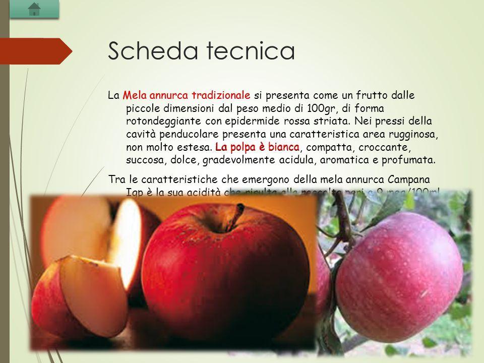Scheda tecnica La Mela annurca tradizionale si presenta come un frutto dalle piccole dimensioni dal peso medio di 100gr, di forma rotondeggiante con e