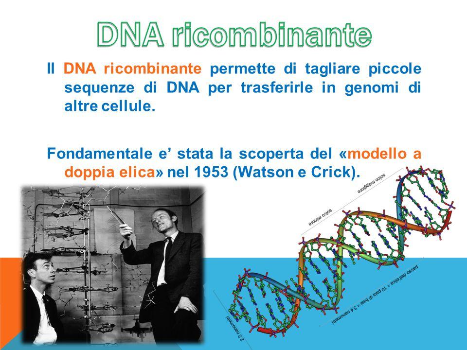 Il DNA ricombinante permette di tagliare piccole sequenze di DNA per trasferirle in genomi di altre cellule. Fondamentale e' stata la scoperta del «mo