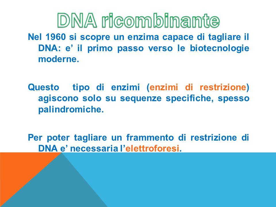 Nel 1960 si scopre un enzima capace di tagliare il DNA: e' il primo passo verso le biotecnologie moderne. Questo tipo di enzimi (enzimi di restrizione
